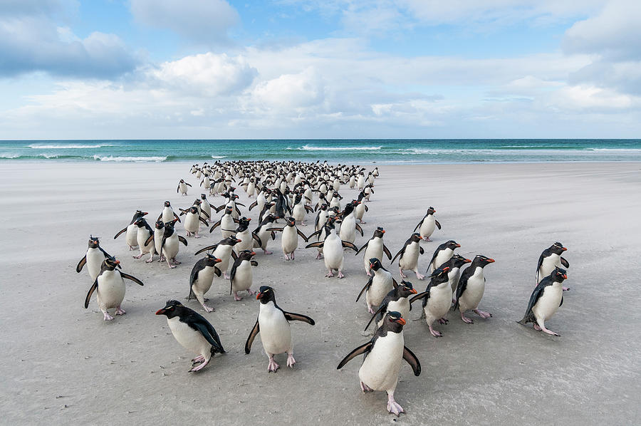 Rockhoppers Walking Up Beach Photograph by Tui De Roy