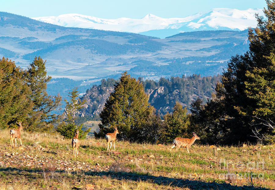 Rocky Mountain Deer Herd Photograph