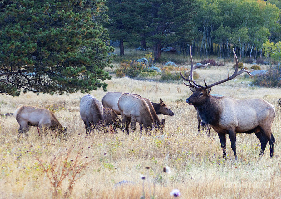 Rocky Mountain Elk On A Foggy Morning Photograph