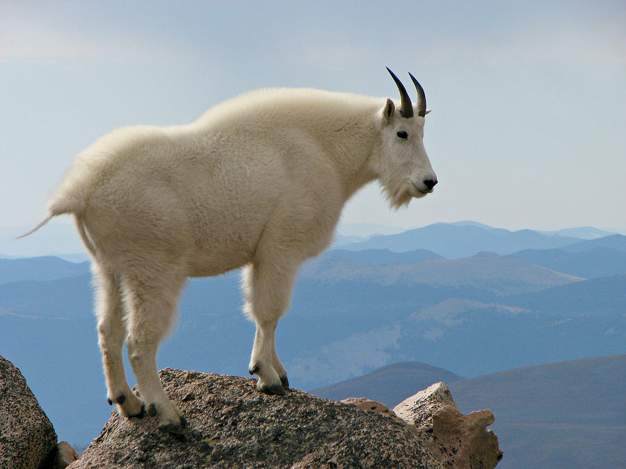 Rocky Mountain Goat On Rock Looking Down Photograph by Sandra Leidholdt