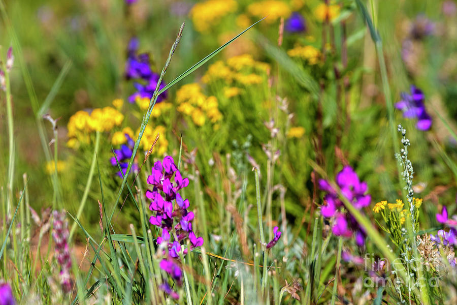 Rocky Mountain Wildflowers by Steve Krull