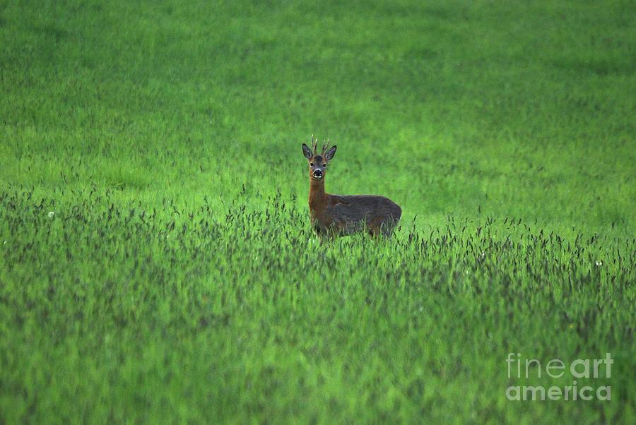 Roe Buck - Hay Field by Phil Banks