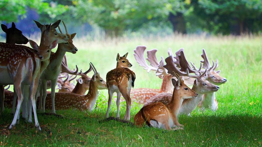 Roe Deer Group By Nigel Burkitt
