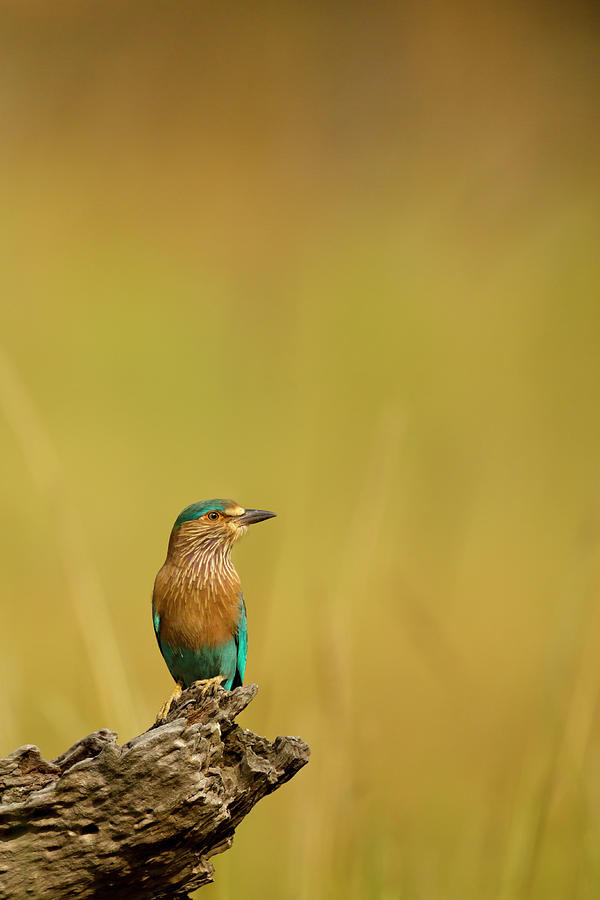 Roller Coracias Benghalensis Photograph by Andrew Sproule