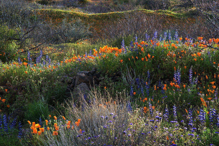 Rolling hills of desert blooming lupine and poppies by Dave Dilli