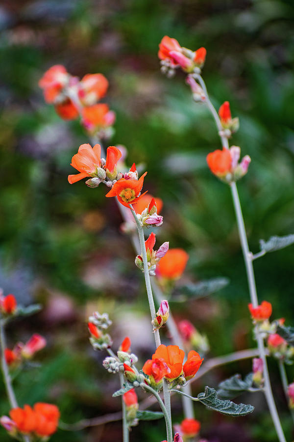 Orange Desert Globemallow Flowers by Juliana Swenson