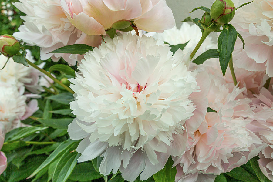 Romantic Peonies in the garden  by Edita Edith Anna Brus