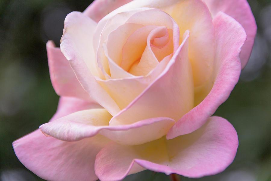 Romantic Rose  by Amy Sorvillo