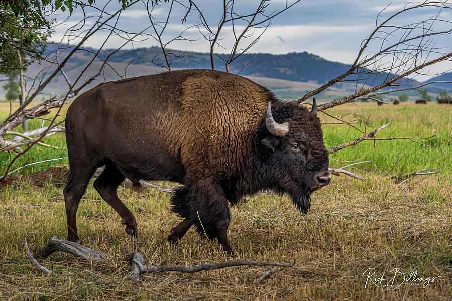 Rooming Bison No 1076 by Rick Billings