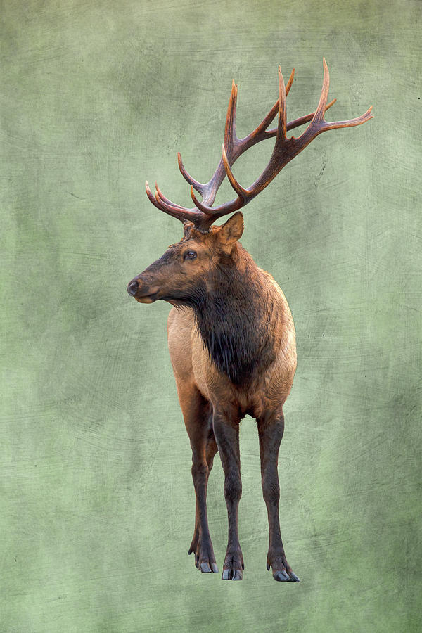 Roosevelt Elk 0933 Photograph