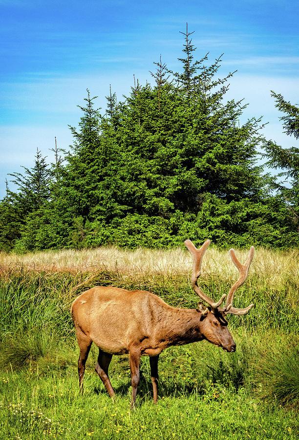 Roosevelt Elk in a Meadow by Carolyn Derstine