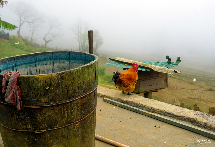 Rooster Sa Pa, Vietnam Style by Madeline Ellis