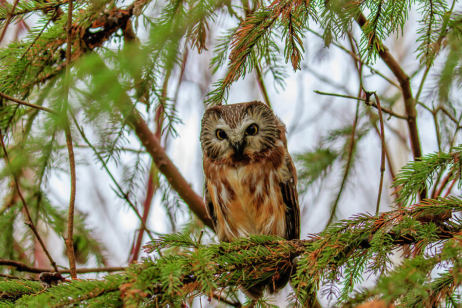 Roosting Saw-whet Owl by Gary Hall