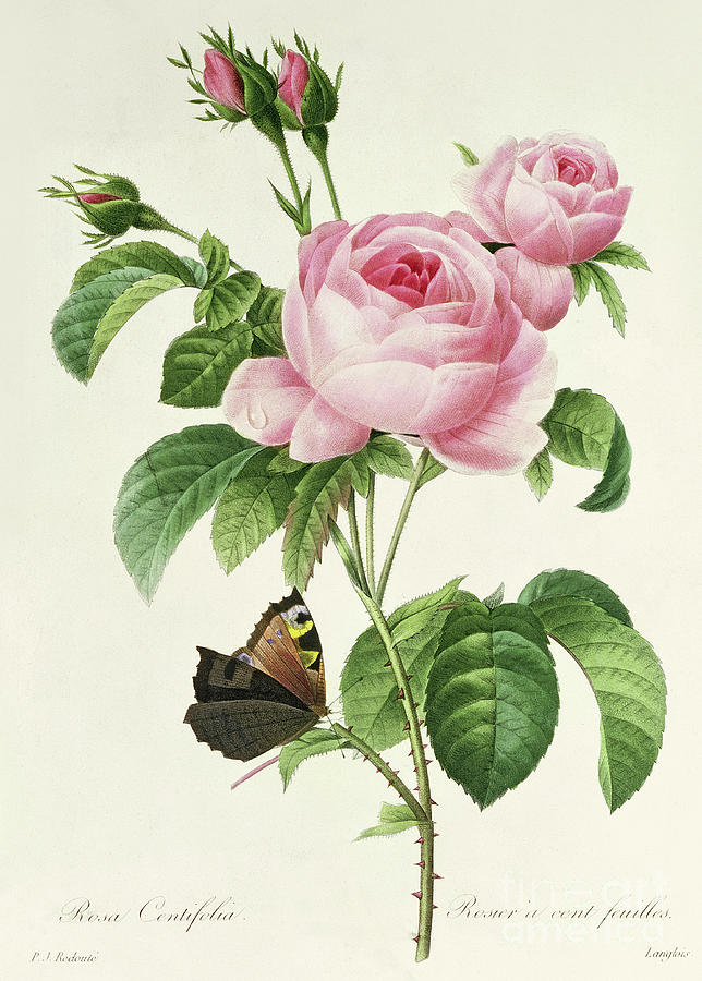 Redoute Painting - Rosa Centifolia Vintage Botanical Print By Redoute by Pierre Joseph Redoute