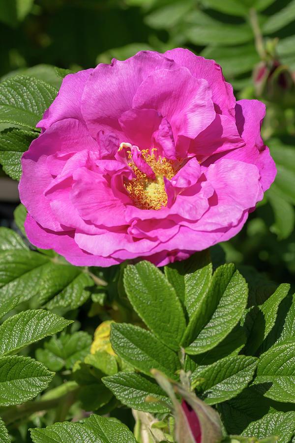 Rosa Charles Albanel by Dawn Cavalieri
