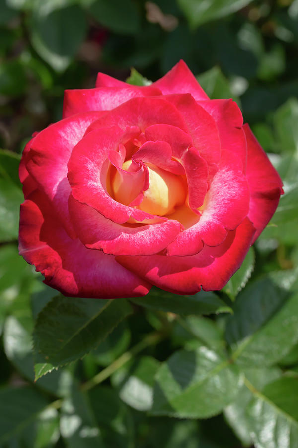 Rosa Dick Clark by Dawn Cavalieri
