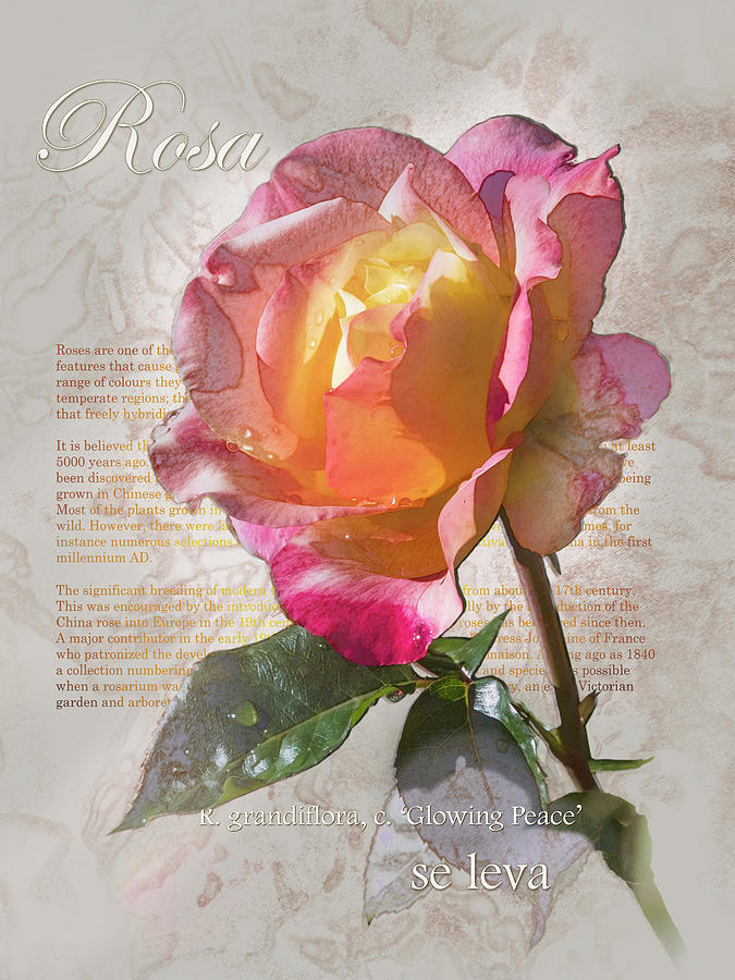 Rosa, 'Glowing Peace' Graphic by Mark Mille