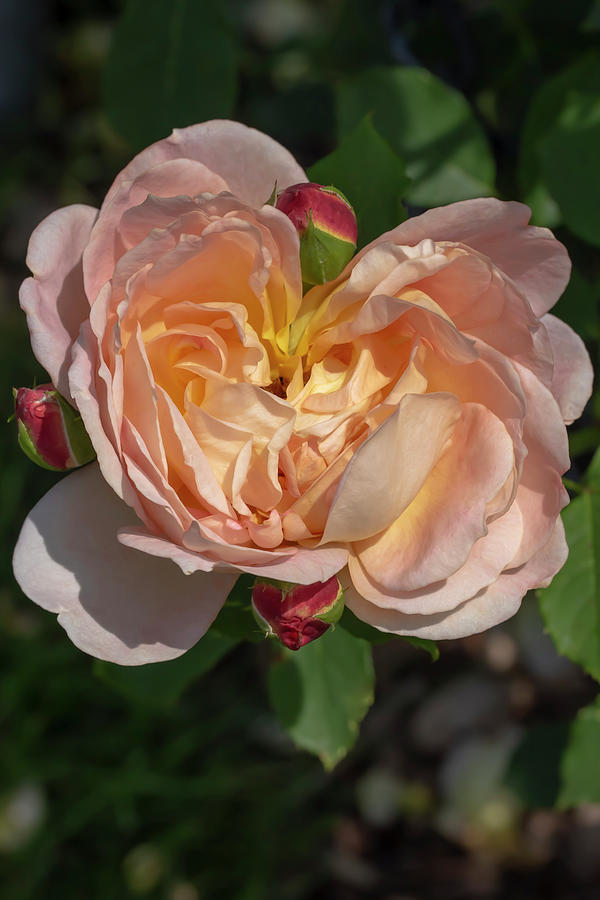 Rosa Lady of Shalott 2 by Dawn Cavalieri