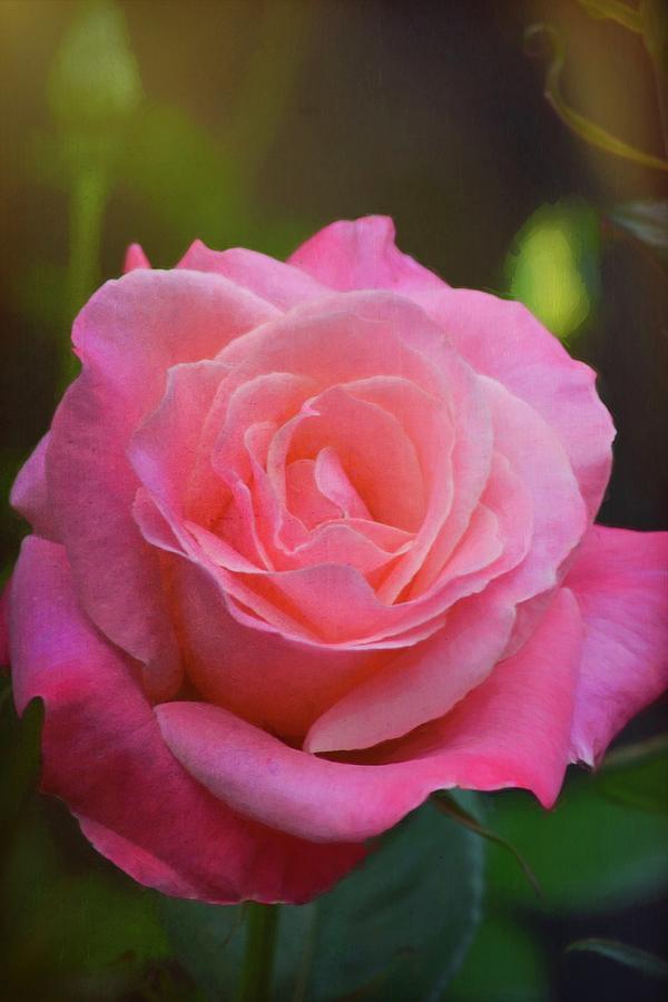 Rose 395 by Pamela Cooper