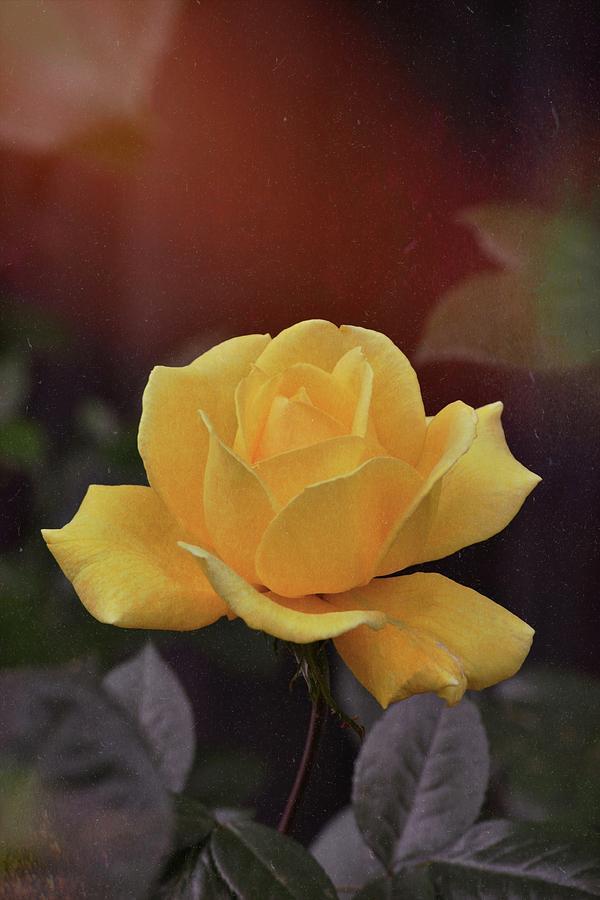 Rose 397 by Pamela Cooper