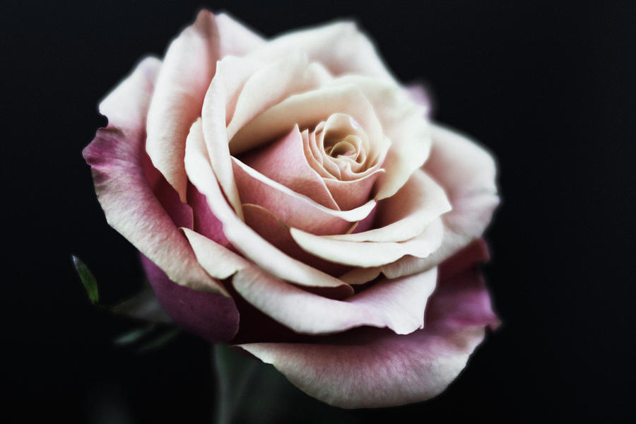 Rose 5119 by Pamela S Eaton-Ford
