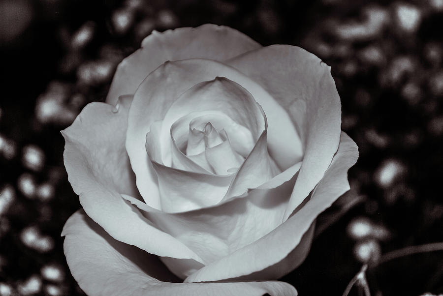 Rose  9166 by G L Sarti