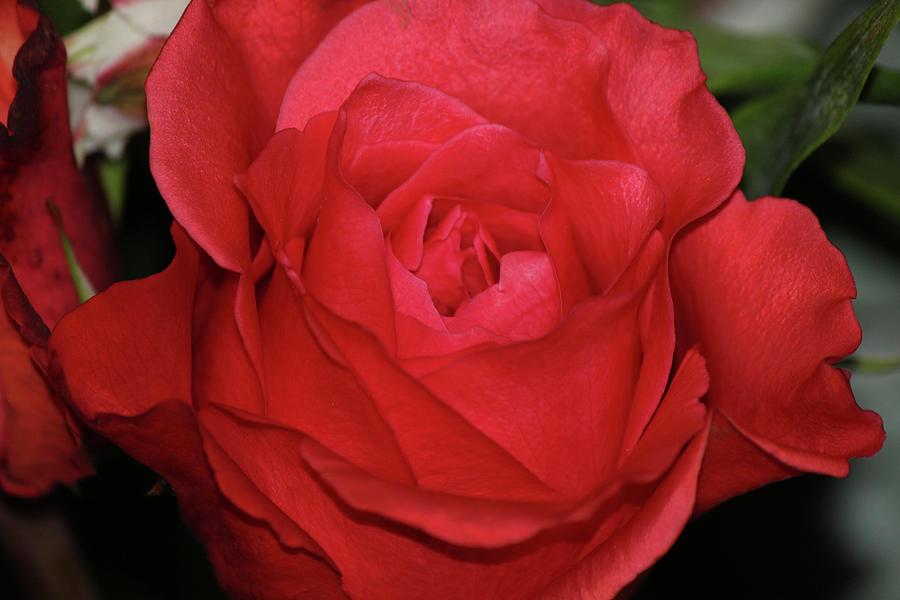 Rose by Alina Avanesian