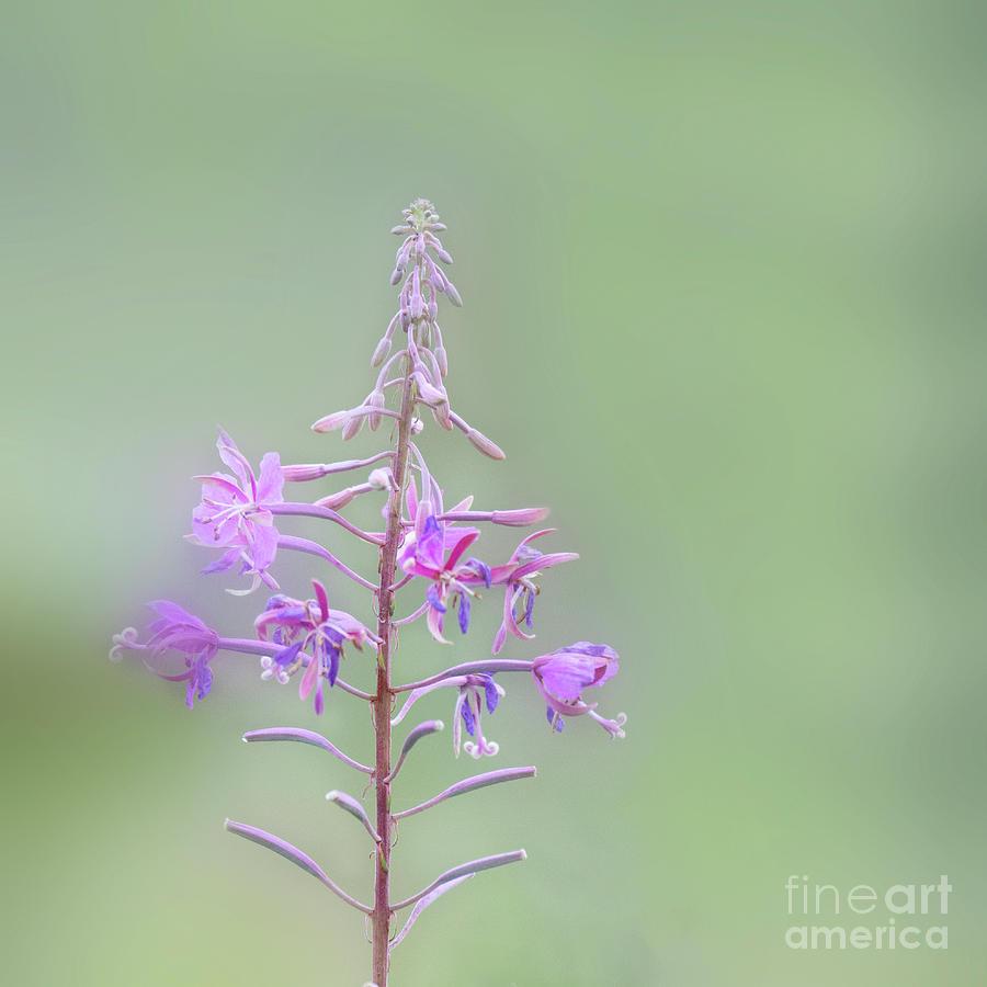 Rosebay Willowherb by Janet Burdon