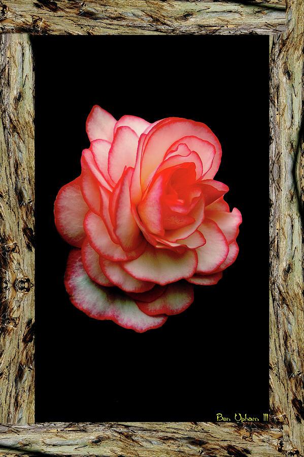 Rose by Ben Upham III