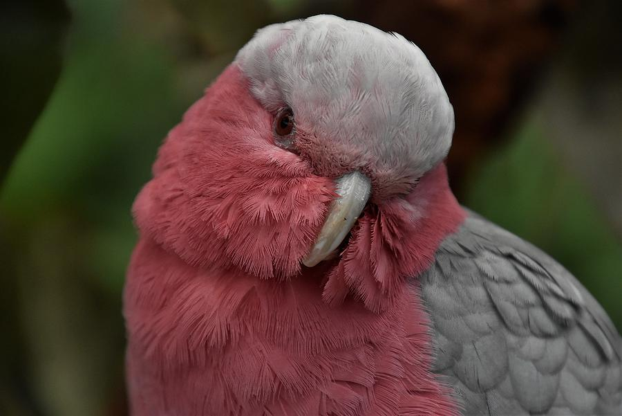 Rose-breasted Cockatoo 2