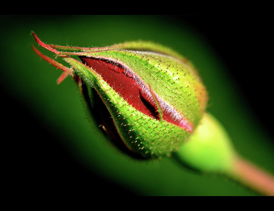 Rose Bud Photograph by Kartik Jasti Photography