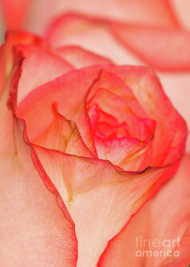 Rose, Close-up by Annerose Walz