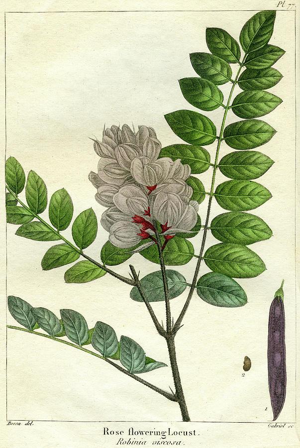 Rose Flowering Locust by unknown