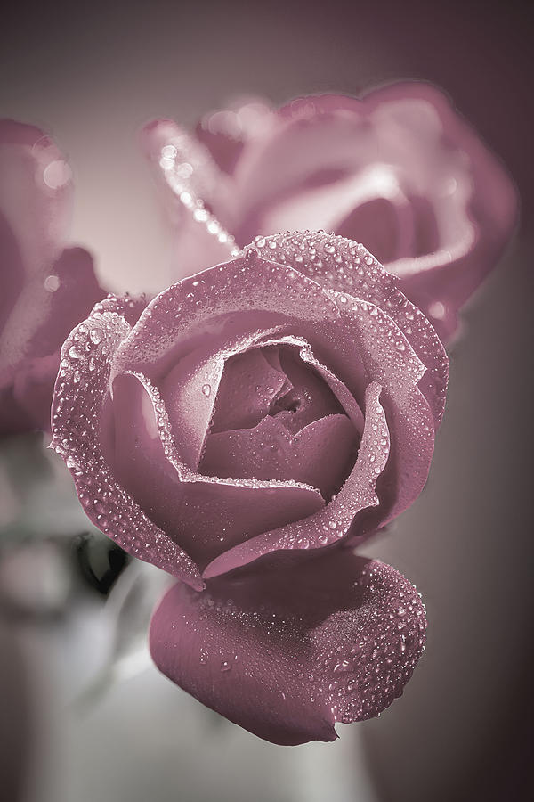Rose by Fred J Lord