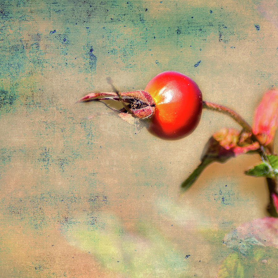 Rose Hip               by Barry Weiss