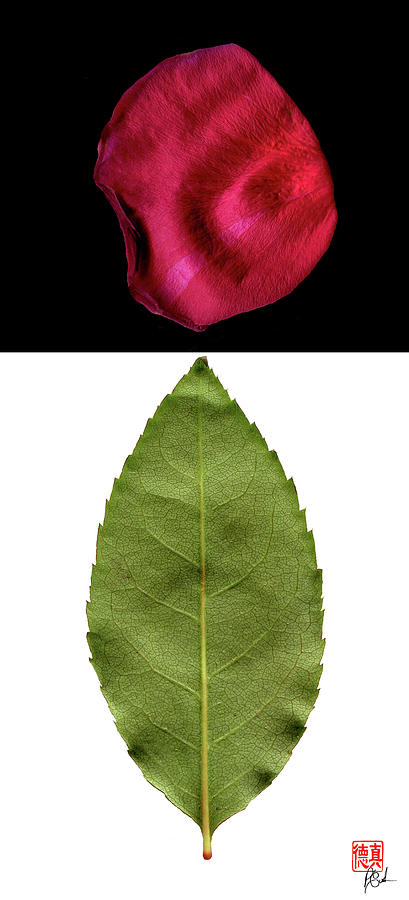 Rose Leaf and Petal by Peter Cutler