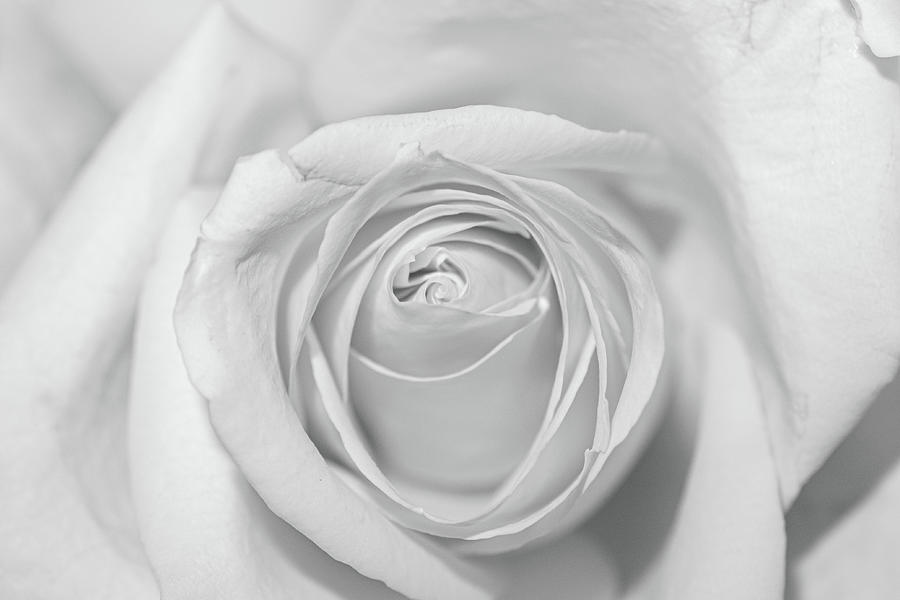 Rose Macro Black And White Photograph