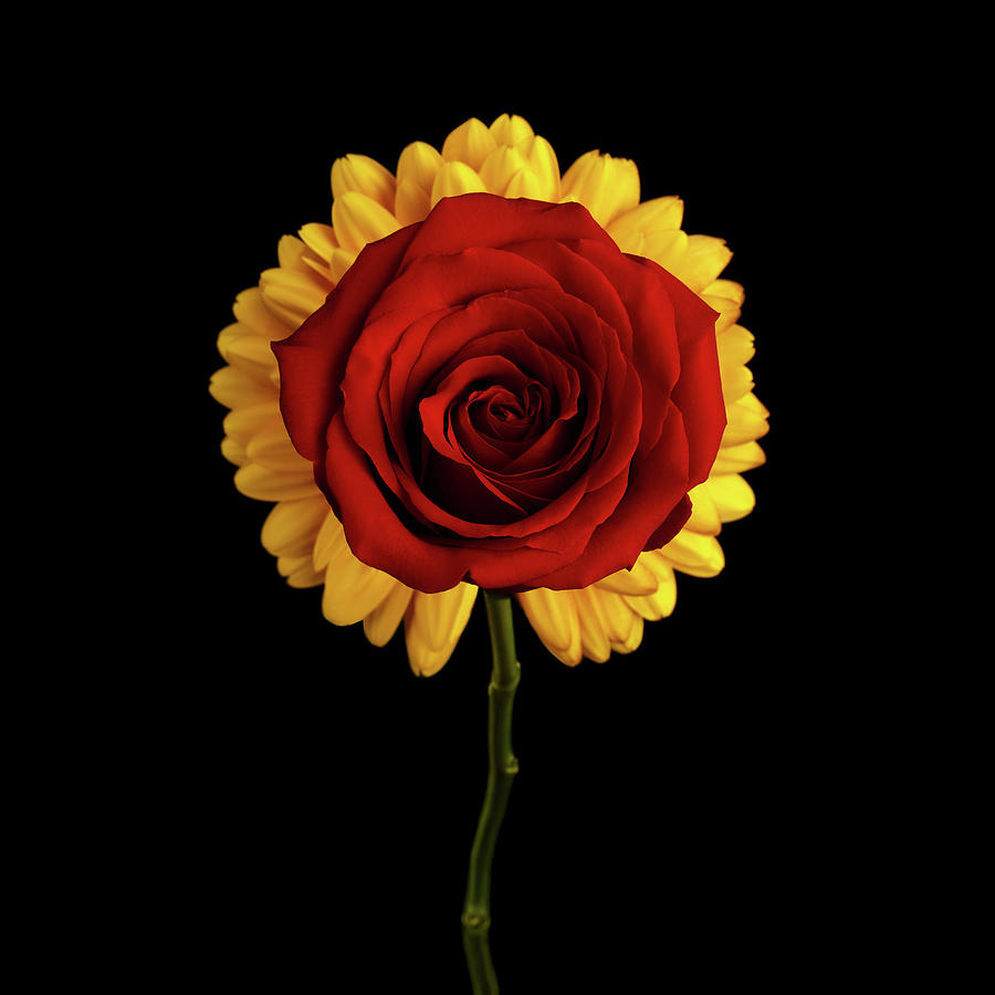 Rose On Yellow Flower Black Background Photograph By Sergey Taran