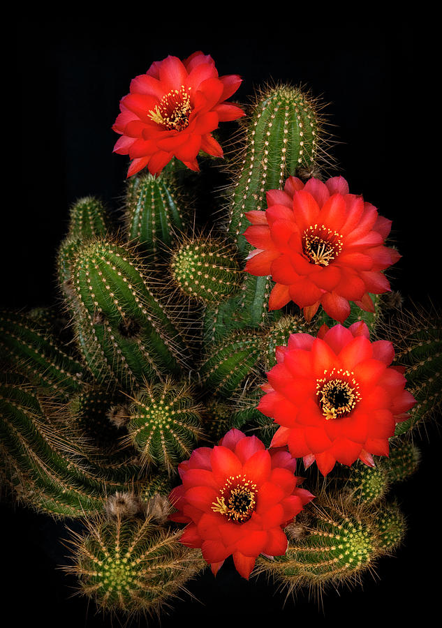 Rose Quartz Cactus  by Saija Lehtonen
