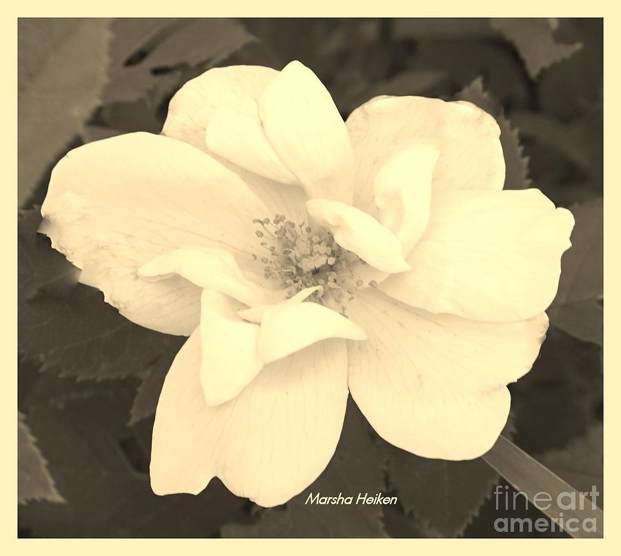 Photo Photograph - Rose Sepia by Marsha Heiken