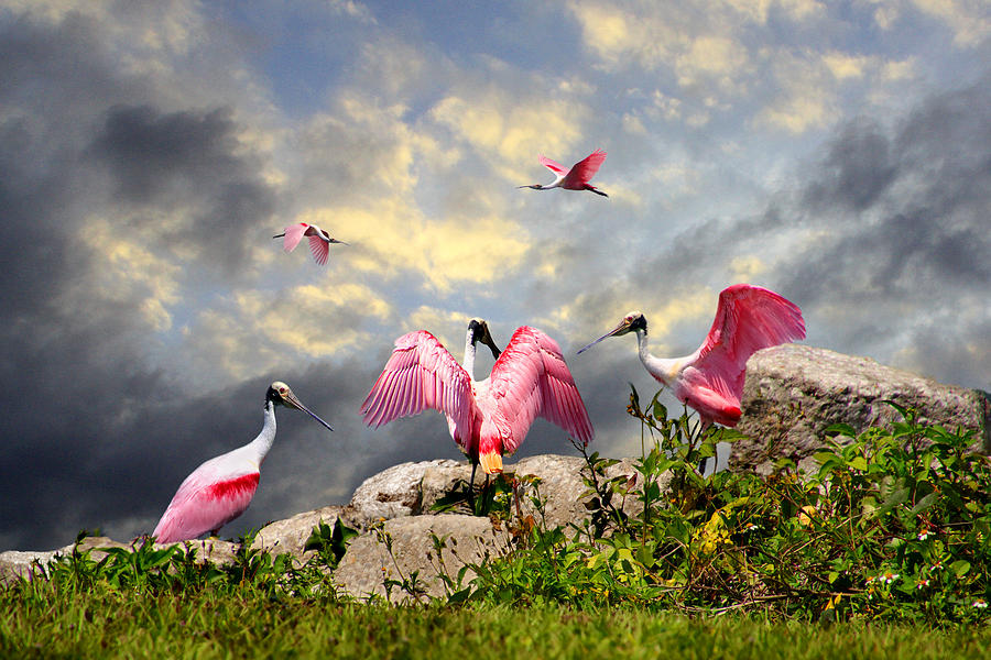 Roseata Spoonbills on the Rocks by Michele A Loftus