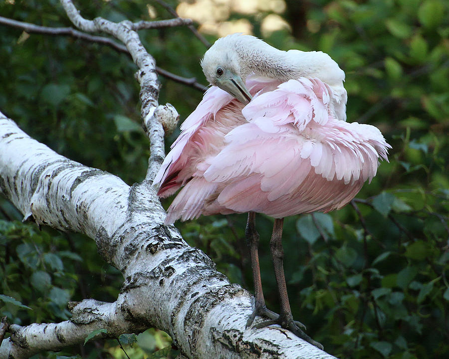 Roseate Spoonbill 18 by William Selander