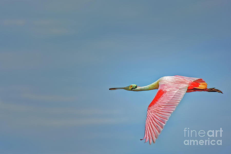 Roseate Spoonbill Flying Wings Down - 3273 by Marvin Reinhart