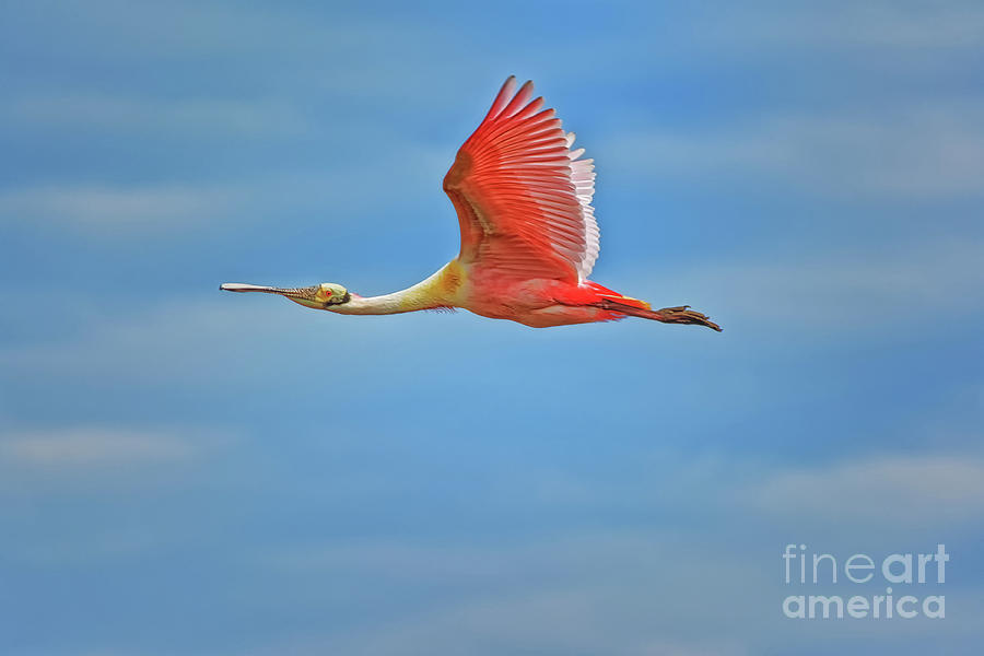 Roseate Spoonbill Flying Wings Up - 3271 by Marvin Reinhart