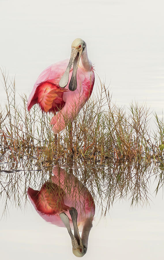 Roseate Spoonbill Reflection by Georgia Wilson