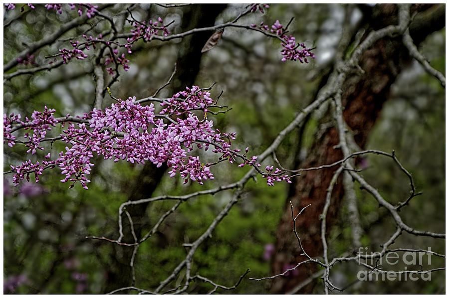 Rosebud Tree - 2641 by Marvin Reinhart