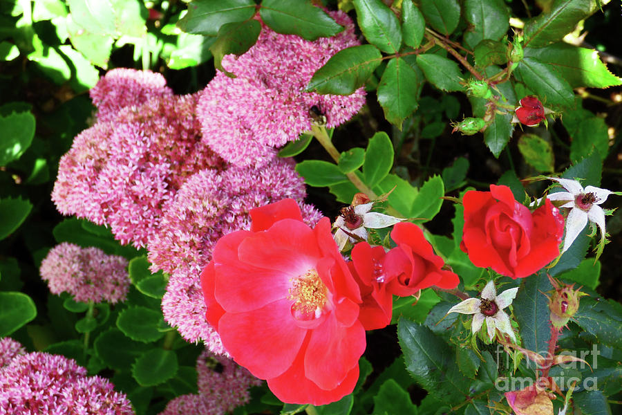 Roses And Sedum Horizontal 300 Photograph