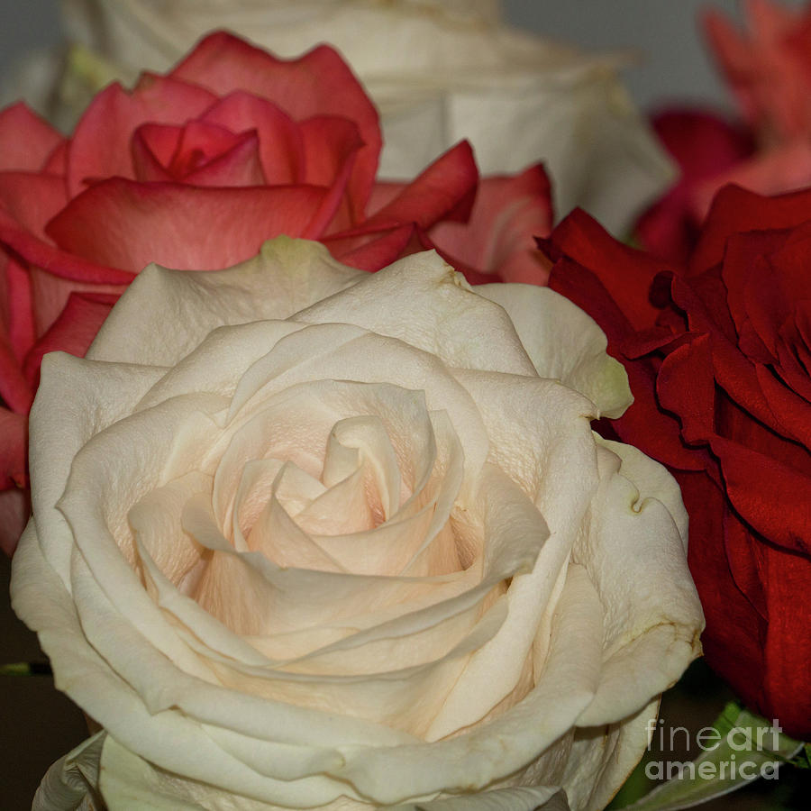 Roses everywhere  by Annerose Walz