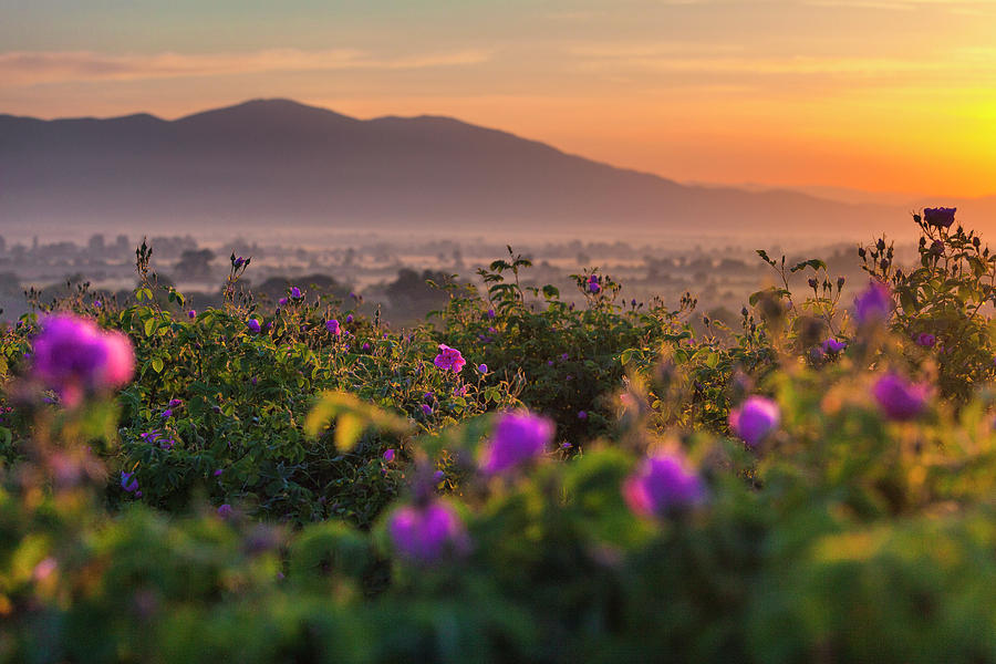 Roses Valley by Evgeni Dinev