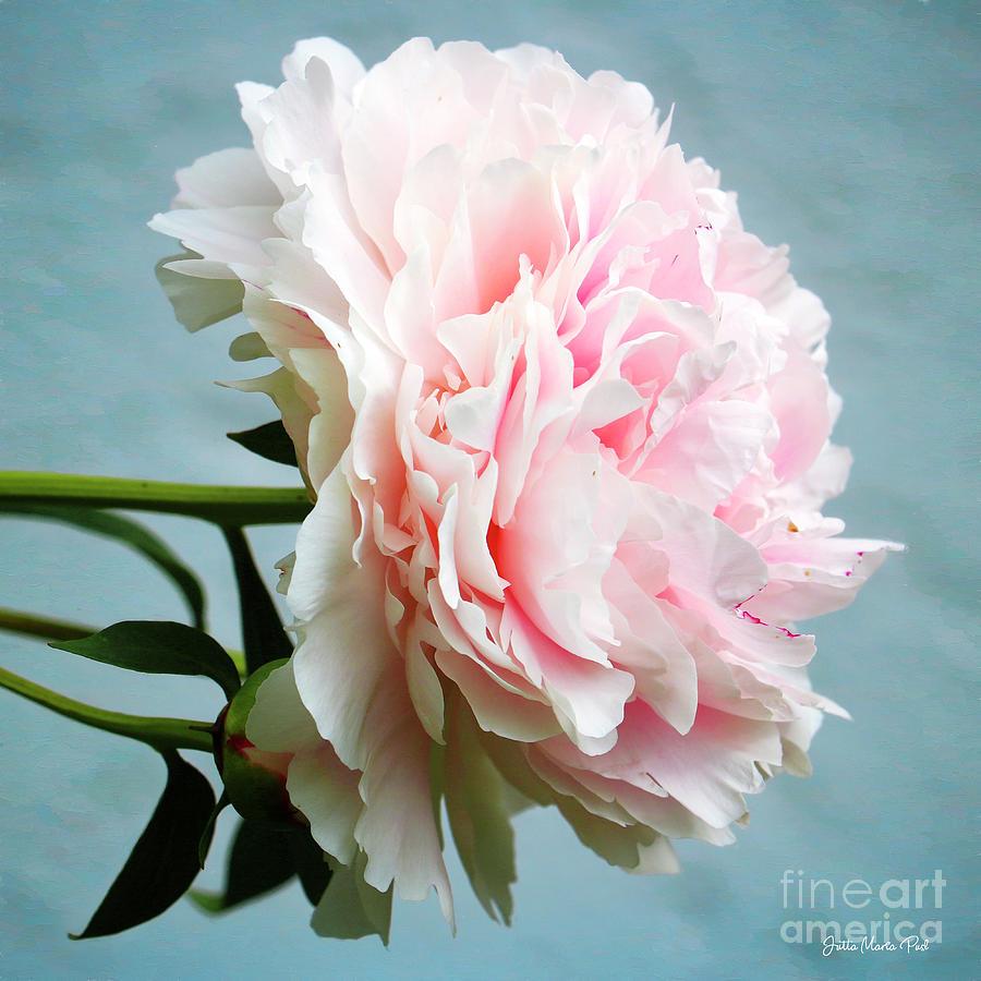 Rosy Lady by Jutta Maria Pusl
